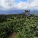 28 Bosque de Araucarias y Nirres