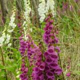 Flora 145