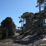 07 Camino entre Araucarias